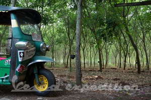 Tuk sleeping in rubber tree plantation
